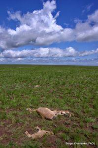 Saiga deaths on the Steppe_web
