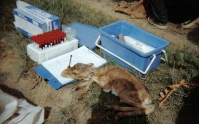 UK Scientists Join Field Expedition to Saiga Calving Sites
