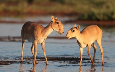 SCA Awarded Grant for Critical Research into Uzbekistan's Saigas